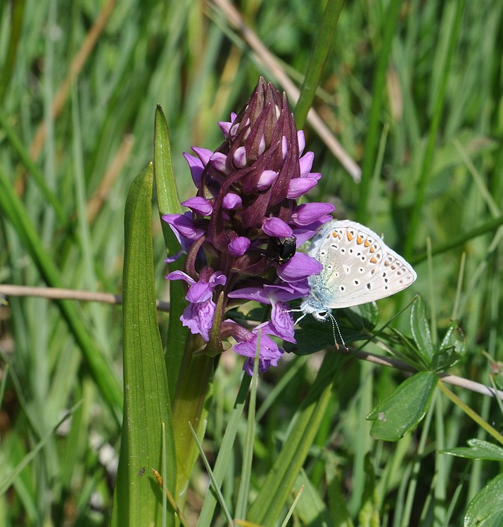 orchidees et papillons - Page 6 05012011marais096