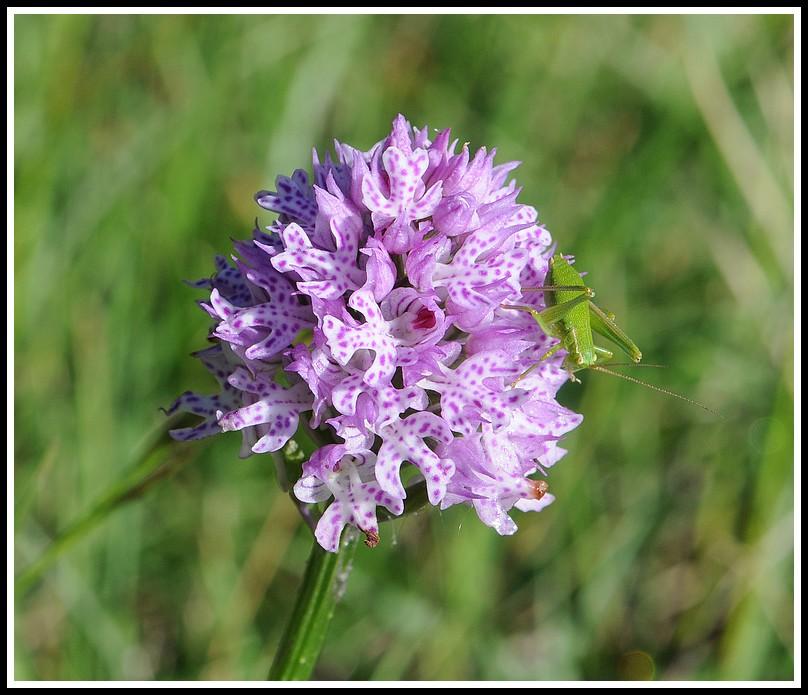 Orchidées et... sauterelles - Page 2 05052012valence050