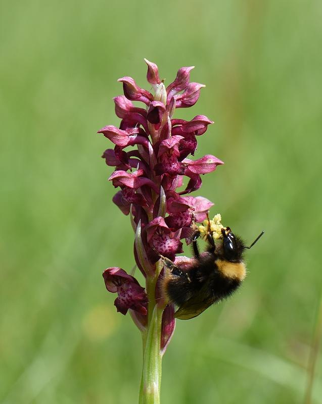 pollinisateur sur coriophora subsp coriophora 11_15