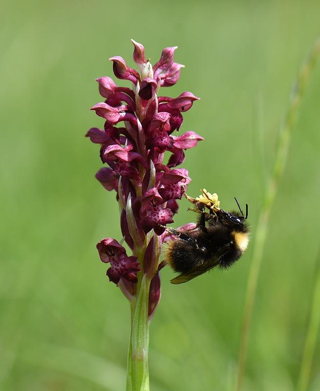 pollinisateur sur coriophora subsp coriophora 12_12