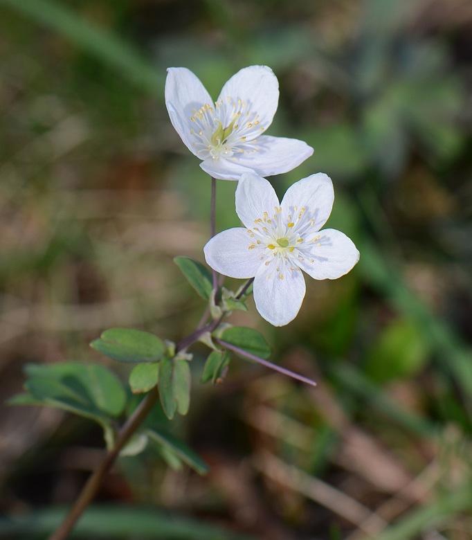 identification fleur ???????? Aprmonteryennelavourschev142