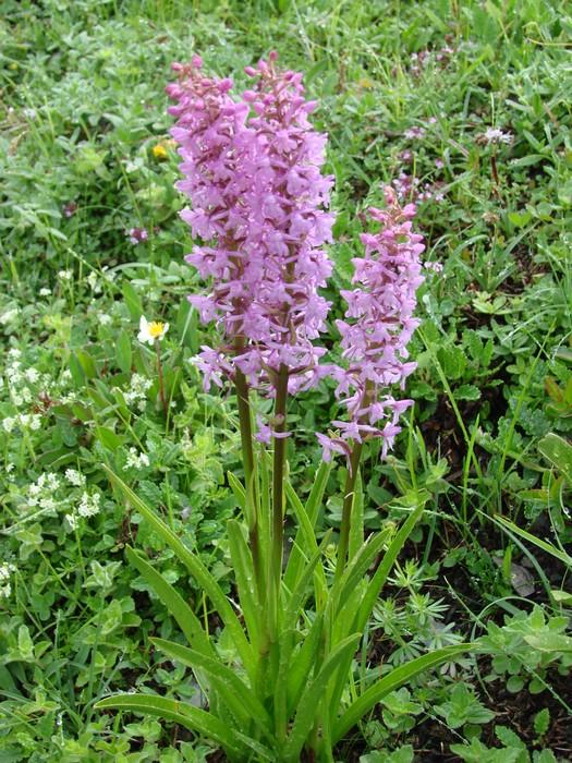 Gymnadenia conopsea (Orchis moucheron) Dsc00482
