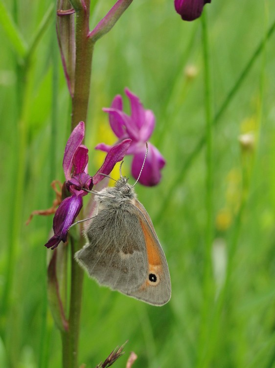 orchidees et papillons Dsc01912