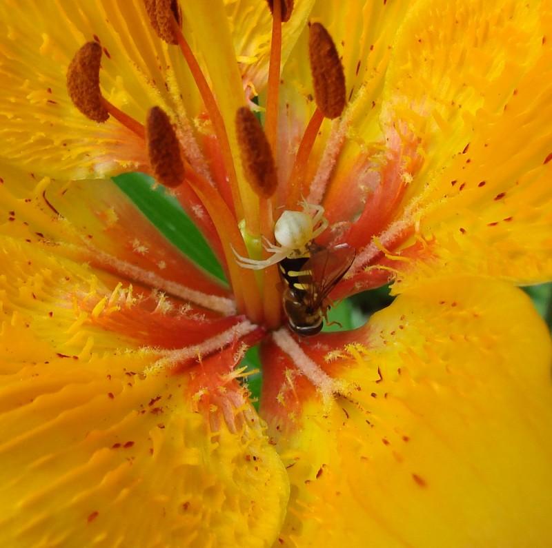 orchidées et araignées Dsc0432b