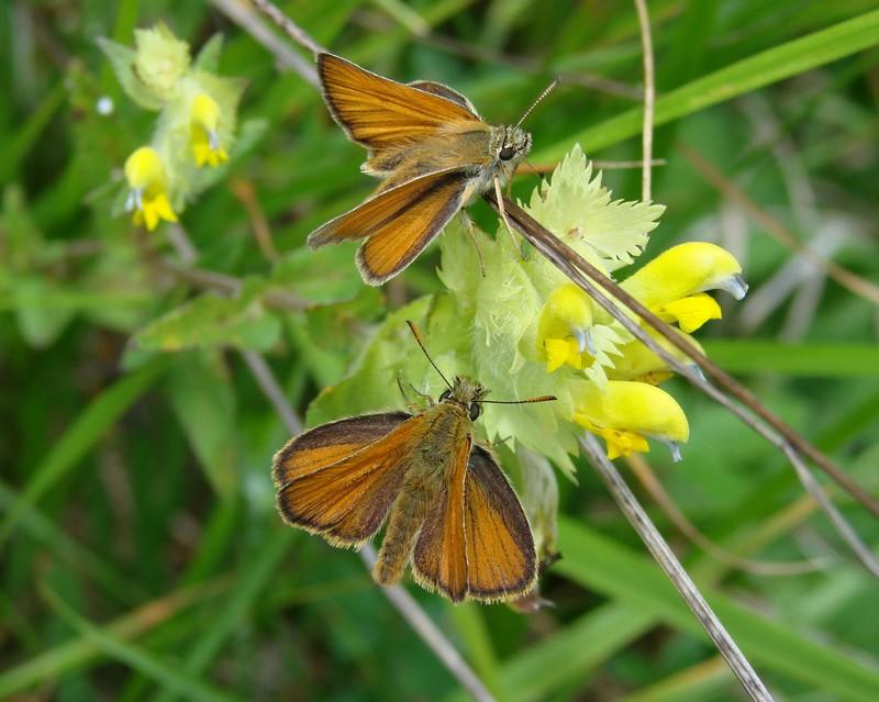 papillons inconnus Dsc04716