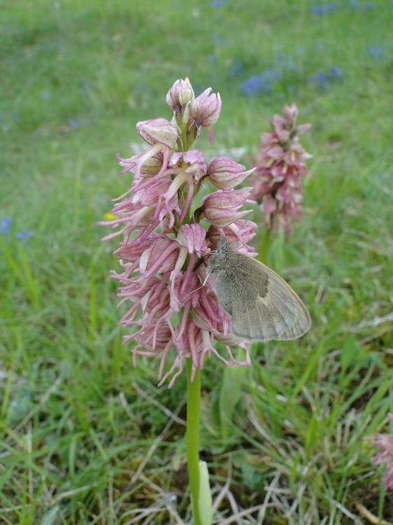 orchidees et papillons Dsc04974