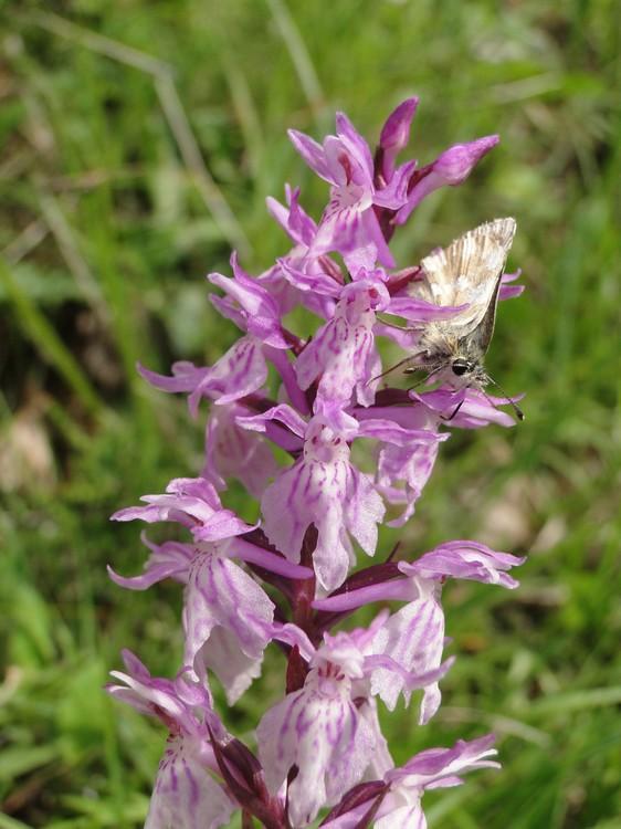 orchidees et papillons Dsc05658