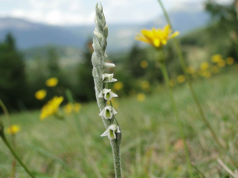 Spiranthes spiralis  ( Spiranthe d'automne ) Dsc08062_1