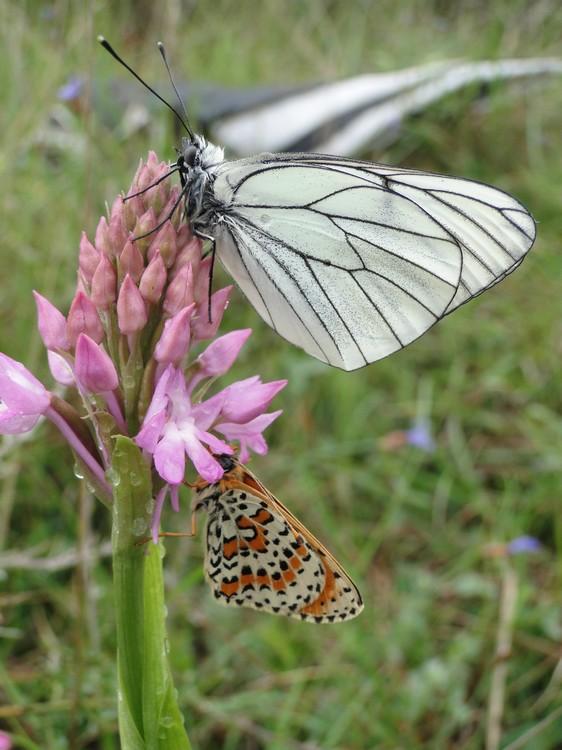 orchidees et papillons Gazemeliteeorangee5