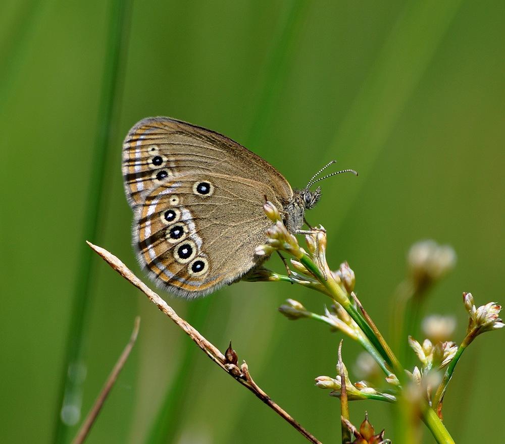 libellules et papillons Granierconjux400mm212