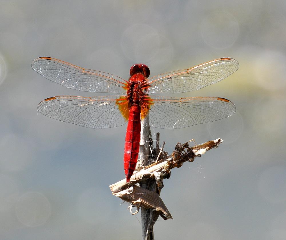 libellules et papillons Granierconjux400mm273