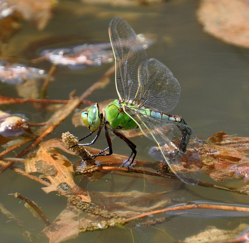 libellules et papillons Granierconjux400mm291