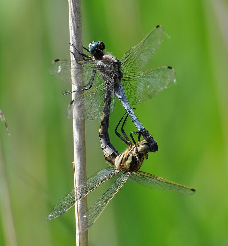 libellules et papillons Granierconjux400mm317
