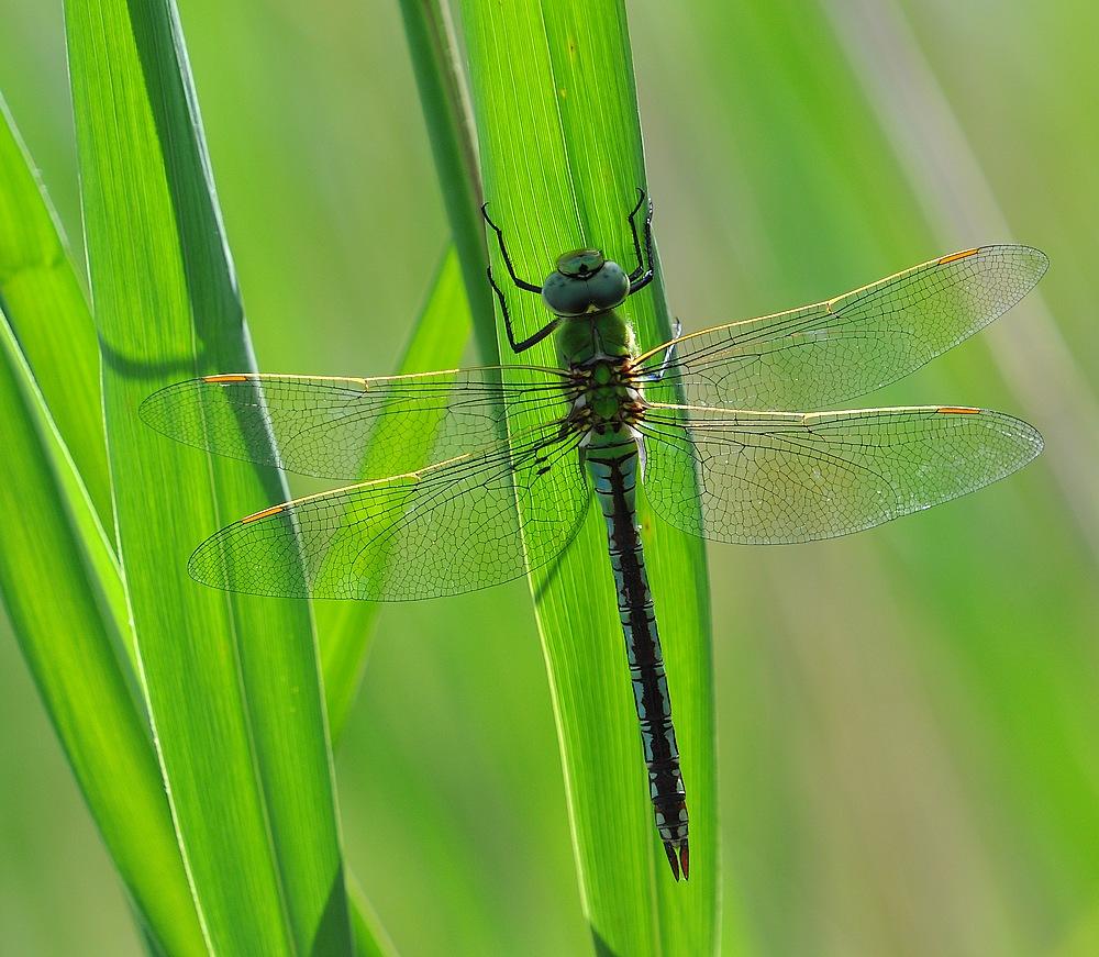libellules et papillons Granierconjux400mm334