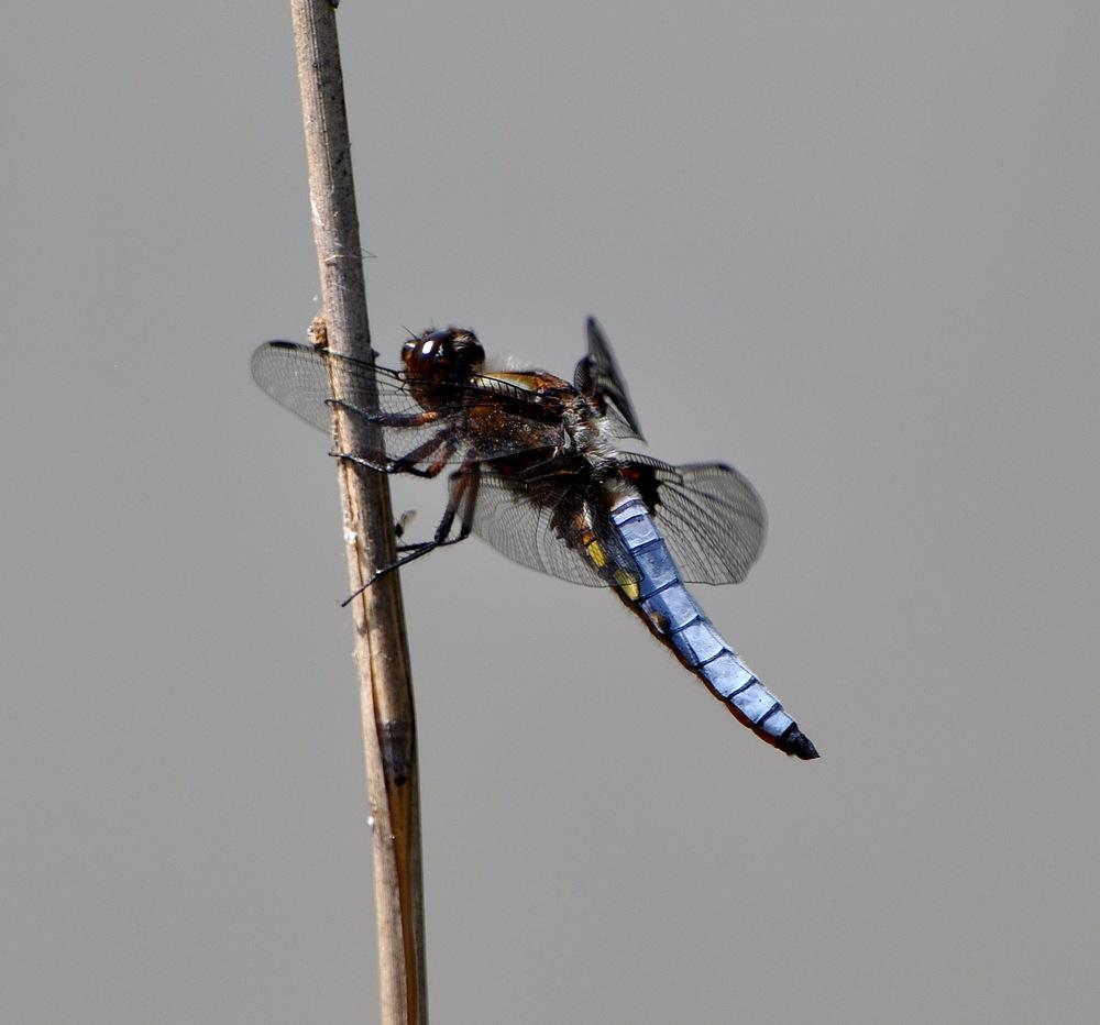 libellules et papillons Granierconjux400mm347