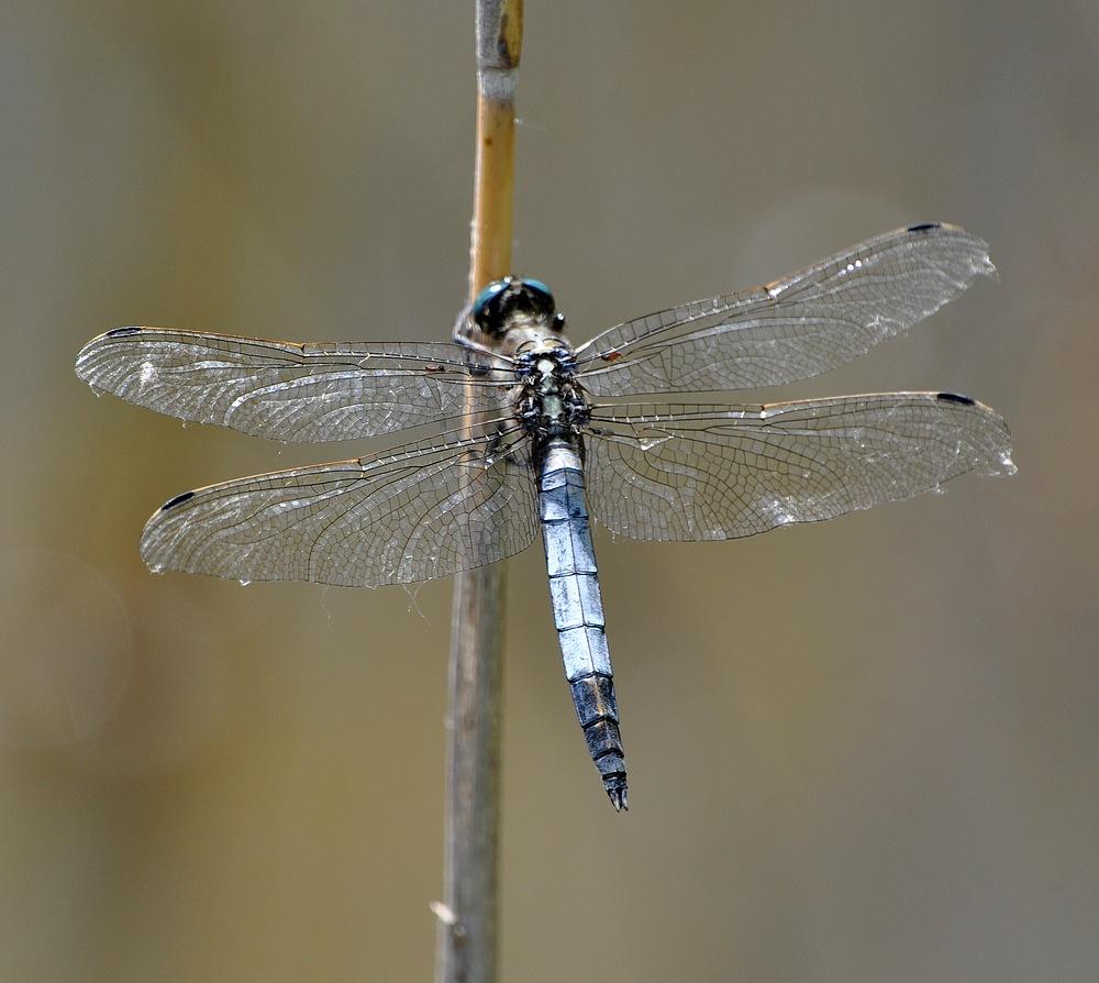libellules et papillons Granierconjux400mm362