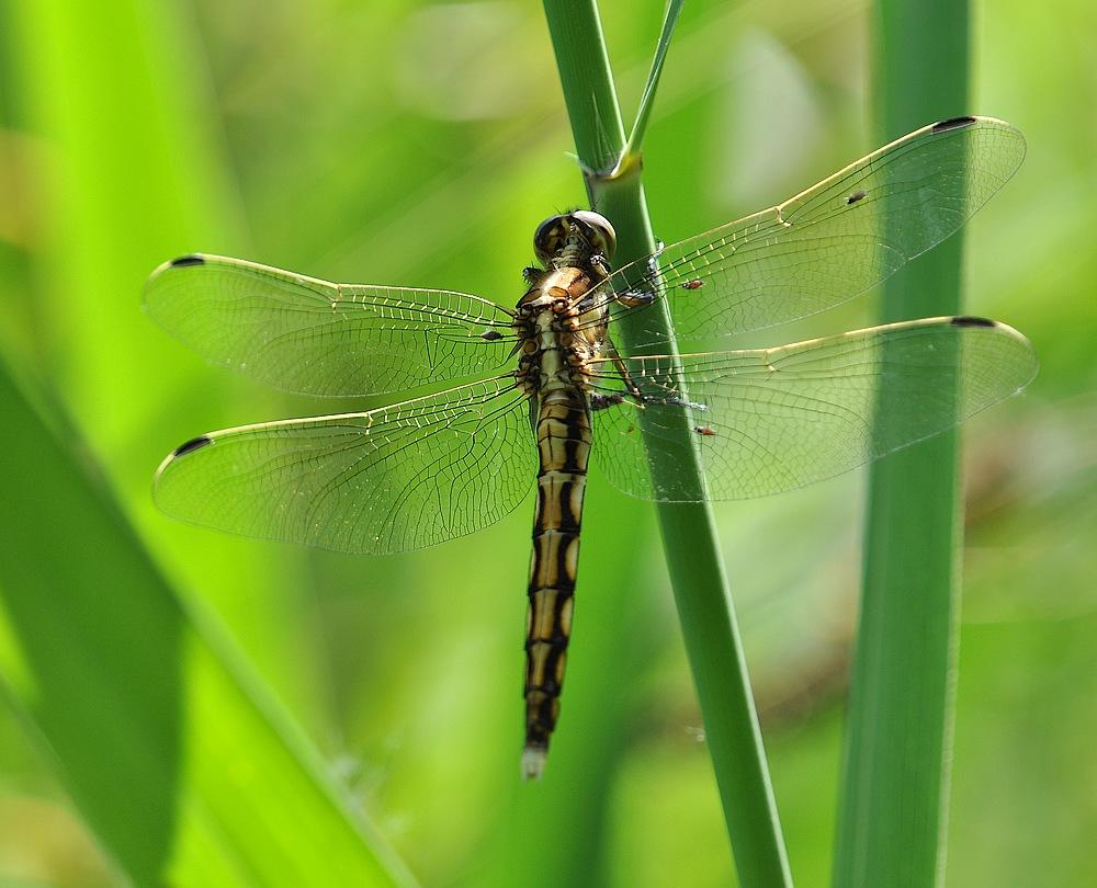 libellules et papillons Granierconjux400mm369