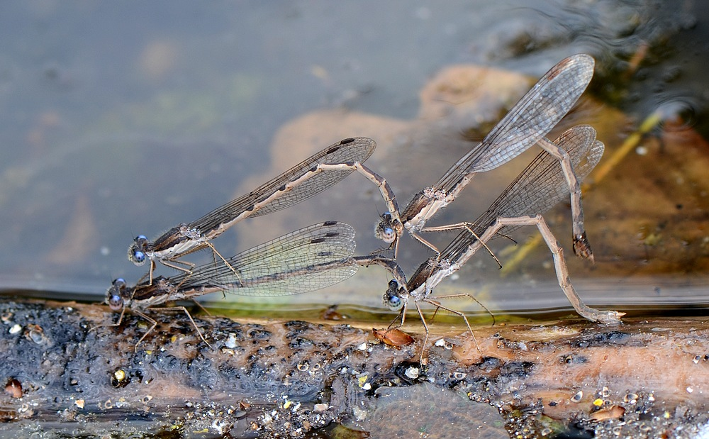 identification papillon + libellule Granierluceyconjux134