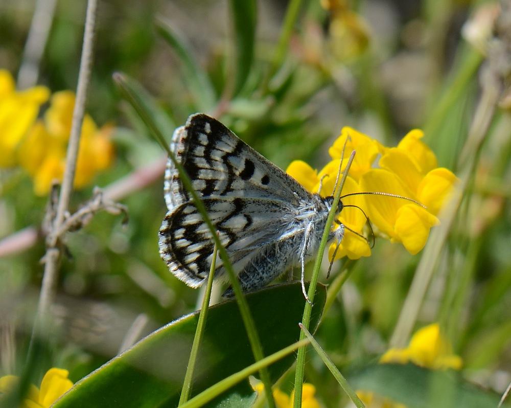 identification papillon + libellule Hautesalpes537