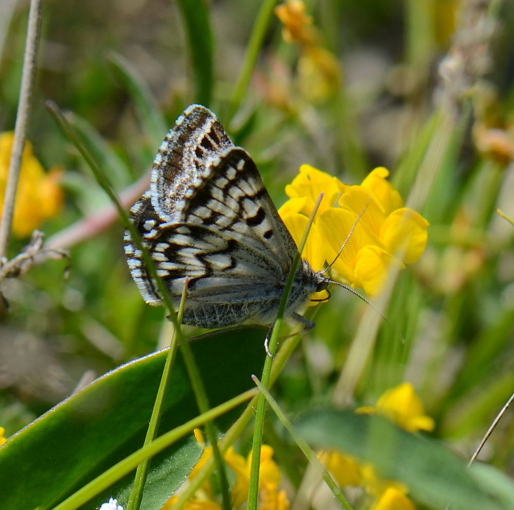identification papillon + libellule Hautesalpes538