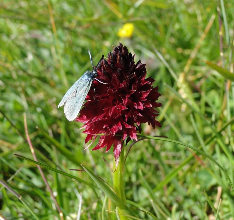 orchidees et papillons - Page 6 Lauzieres3