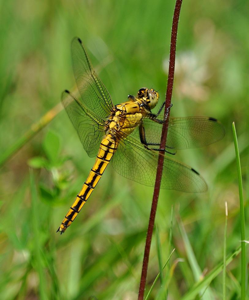confirmation libellules Libellulesvions091