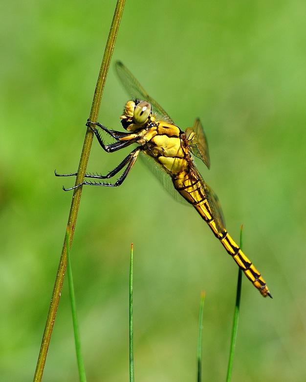 confirmation libellules Libellulesvions098