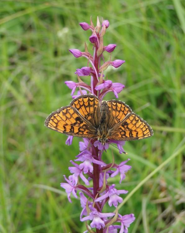 orchidees et papillons Meliteedesmelampyreslacduloup1
