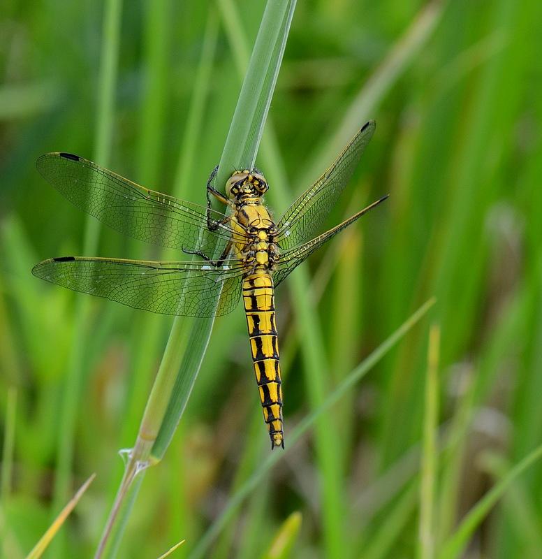 1eres libellules a identifier Monterluceyconjux079