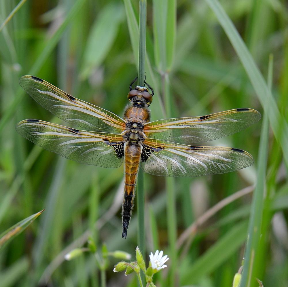 1eres libellules a identifier Monterluceyconjux086
