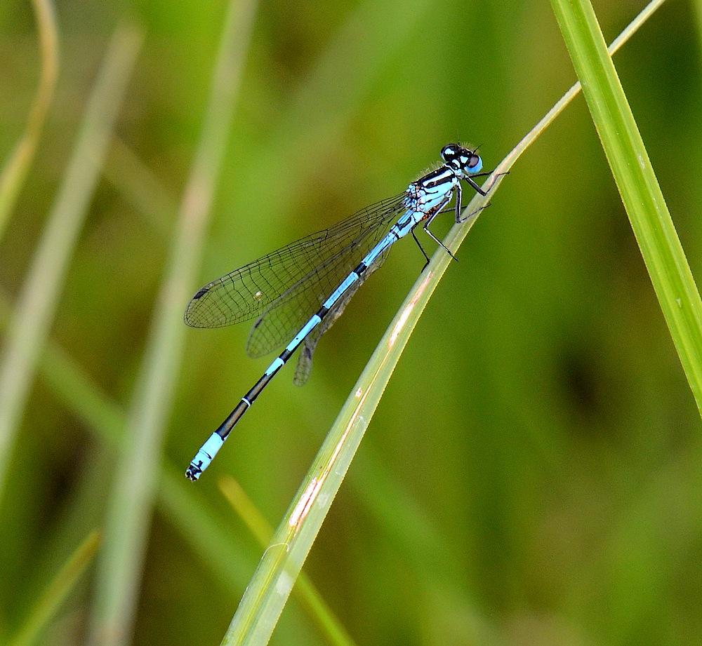1eres libellules a identifier Monterluceyconjux117