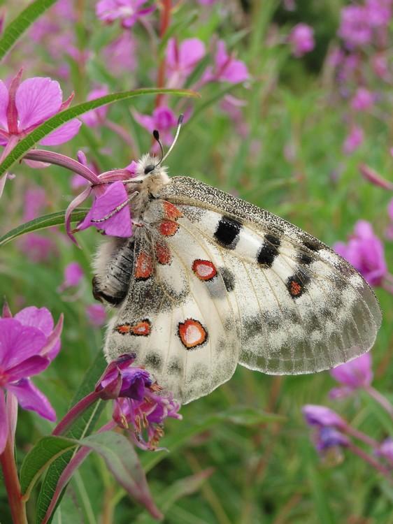 orchidees et papillons - Page 4 Petitapollonlaclecheaussois19