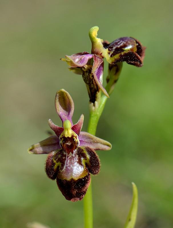 Ophrys fuciflora (SL) X speculum Saintgenis151