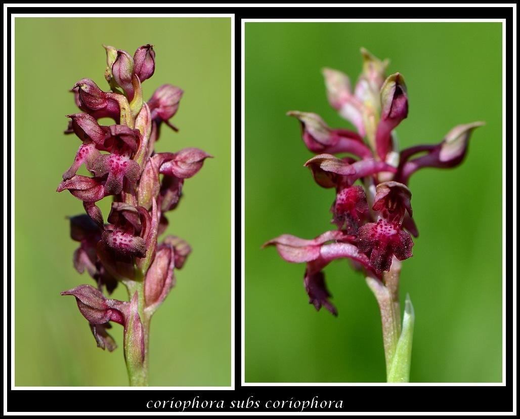 coriophora subsp coriophora (73) Sanstitre8