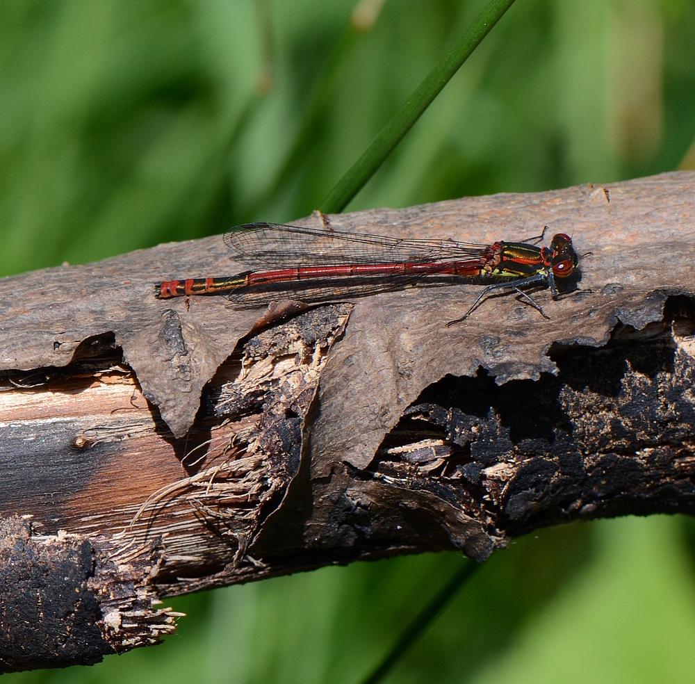 1eres libellules a identifier Thuilechapelle011