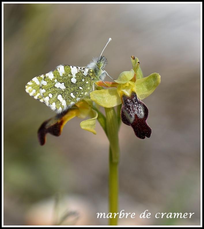 pollinisateur sur forestieri  Toulonmartigues486_1