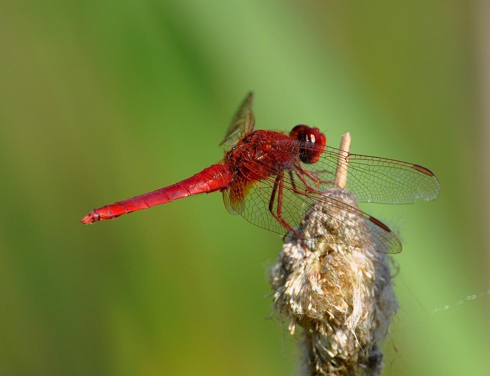 confirmation libellules Voglans022