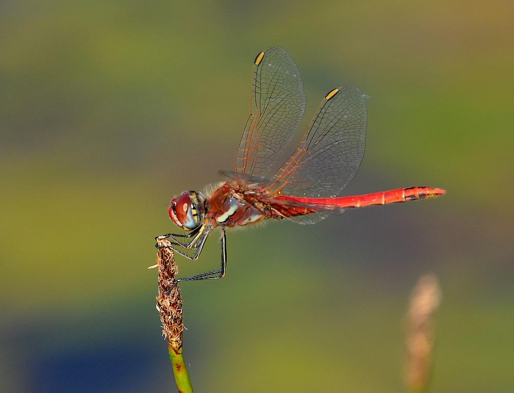 confirmation libellules Voglans025