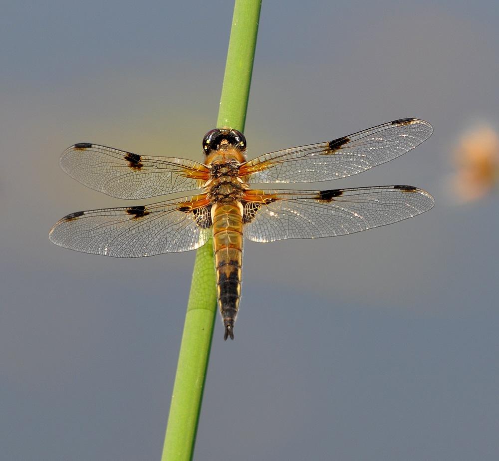 confirmation libellules Voglans030