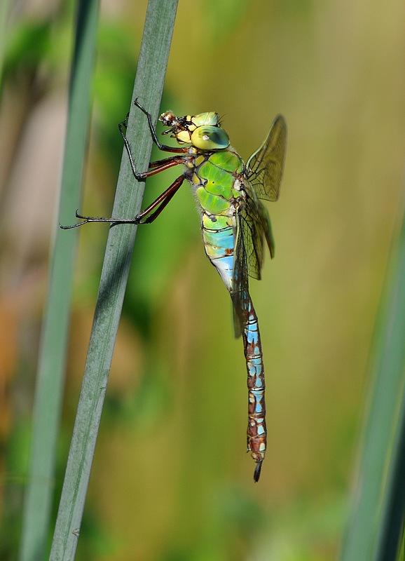 confirmation libellules Voglans052