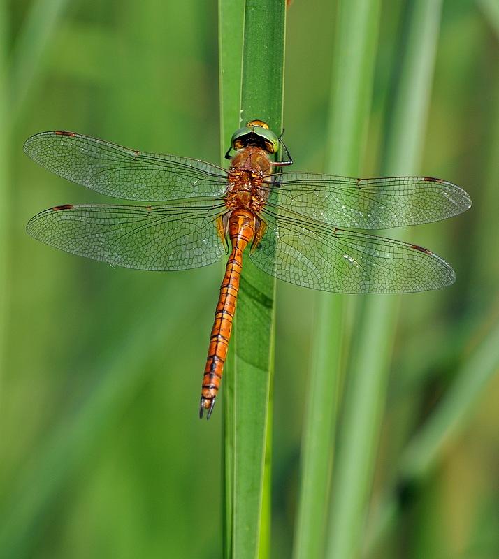 confirmation libellules Voglans066
