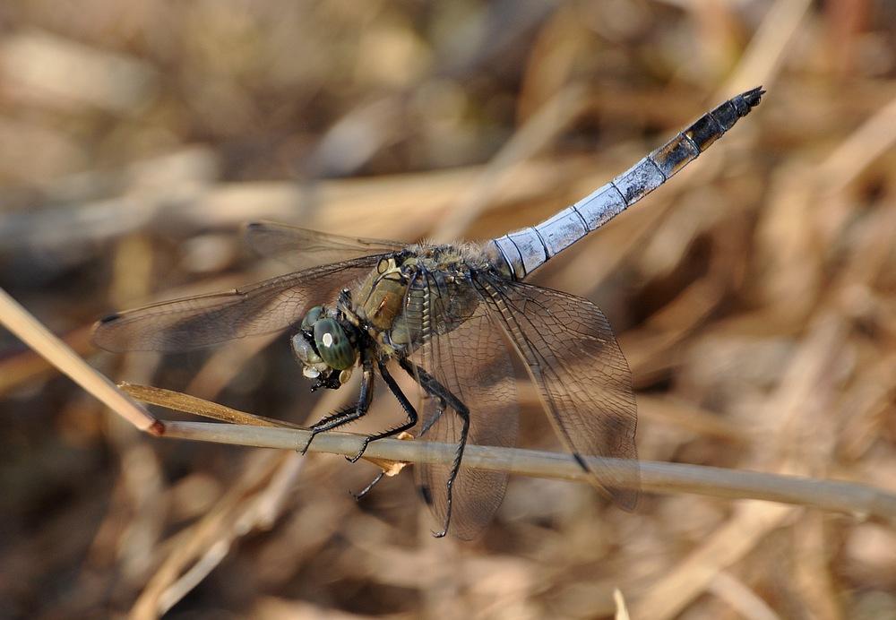 confirmation libellules Voglans086
