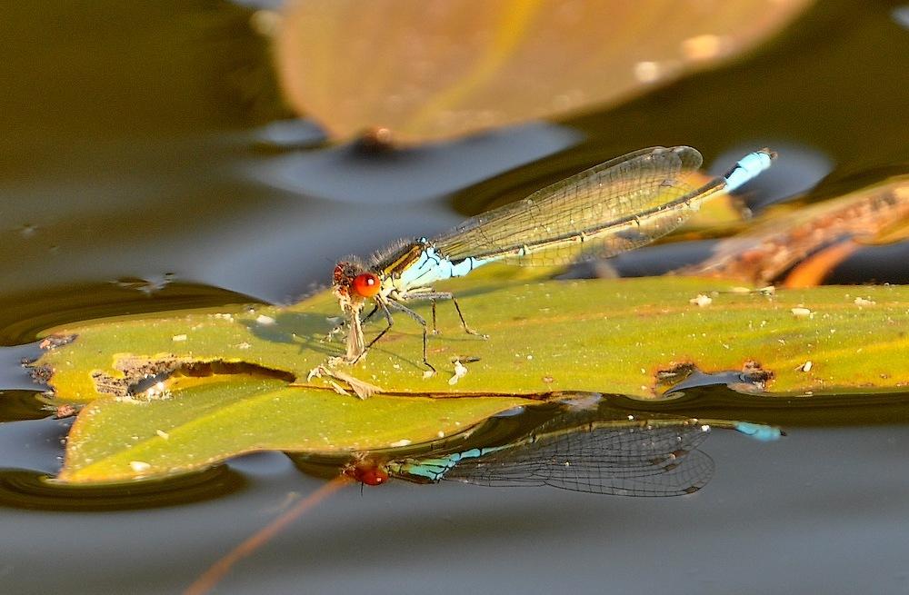 confirmation libellules Voglans103