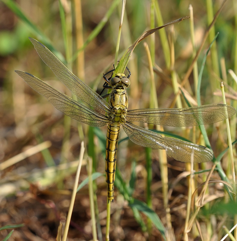 confirmation libellules Voglans122