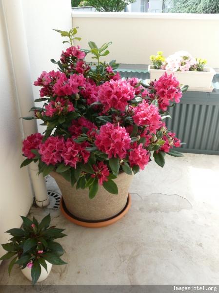 rhododendron en bac au jardin forum de jardinage. Black Bedroom Furniture Sets. Home Design Ideas