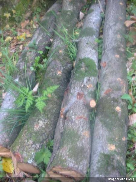Culture de champignons sur bûches Img7287
