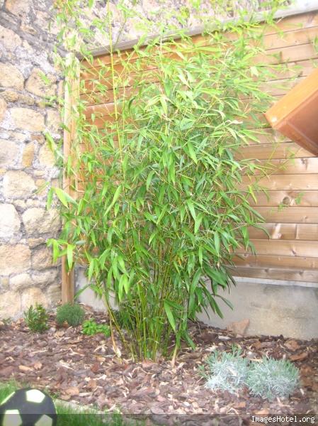 Arrosage des bambous en hiver